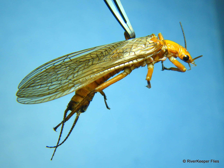 Golden Stonefly Adult|www.johnkreft.com