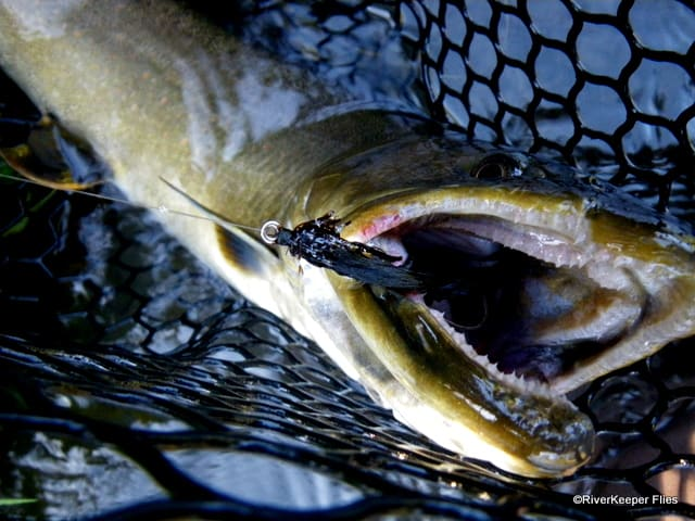 Bull Trout with Black Leech | www.johnkreft.com