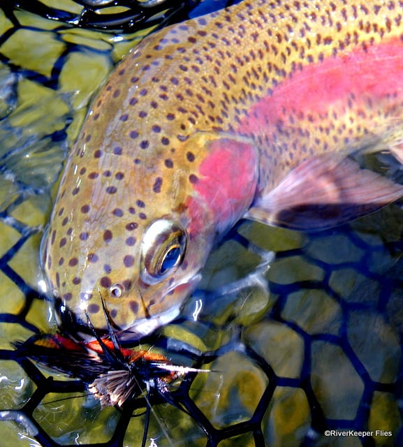 Deschutes River Rainbow | www.johnkreft.com