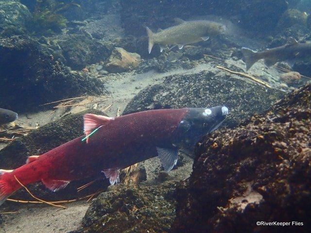 Metolius River Sockeye Salmon | www.johnkreft.com