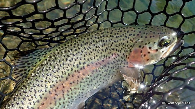 Metolius Rainbow Trout | www.johnkreft.com