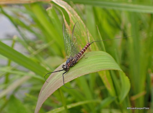 Brown Mayfly Spinner on Grass | www.johnkreft.com