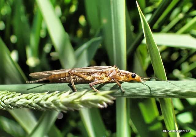 Golden Stonefly on Deschutes River | www.johnkreft.com