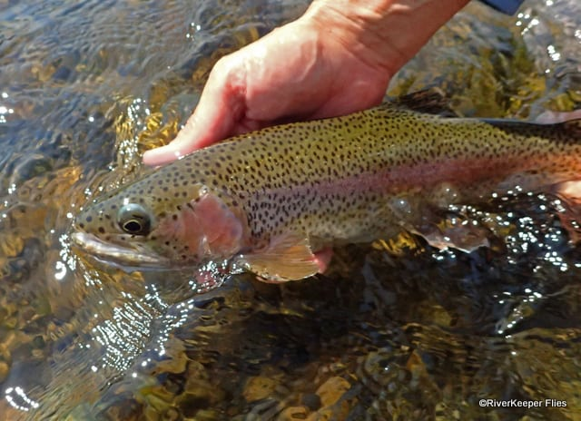 2017 Madison River Rainbow | www.johnkreft.com