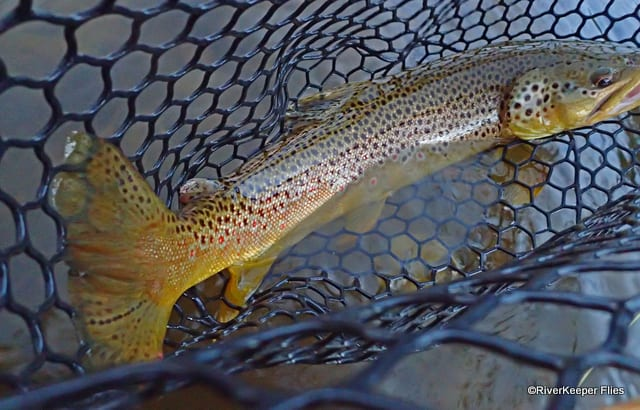 Brown Trout from Big Hole River, MT | www.johnkreft.com