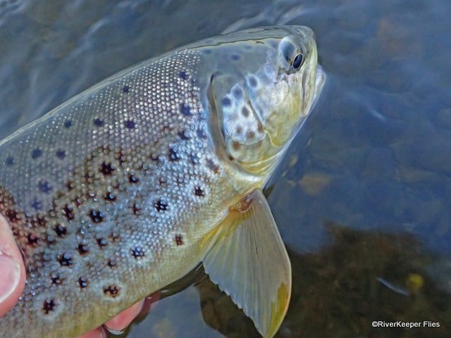 Madison River Brown Trout | www.johnkreft.com