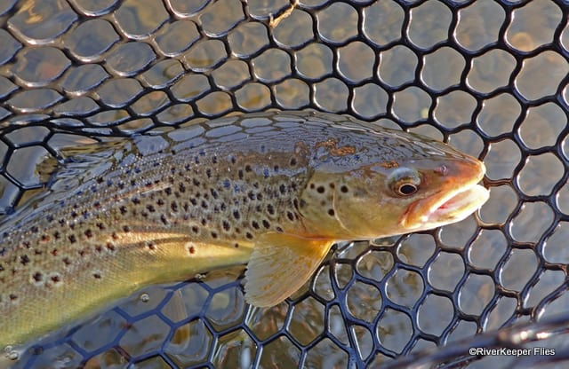 Madison River Brown Ttout | www.johnkreft.com