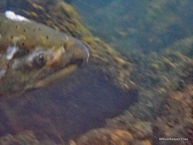 Metolius River Chinook Head Shot   www.johnkreft.com