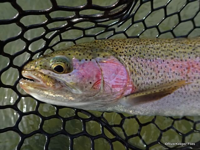 East Lake 'Pink' Rainbow Trout | www.johnkreft.com