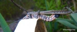 Salmonflies