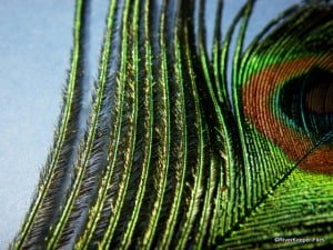 Magic Fly Materials – Peacock and Grizzly