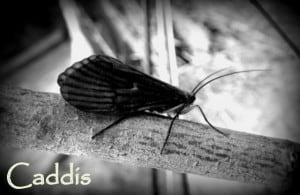 Caddis | www.johnkreft.com