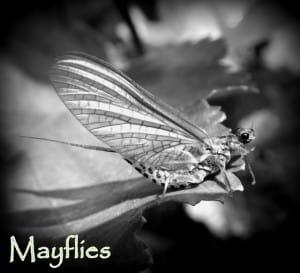 Mayflies | www.johnkreft.com
