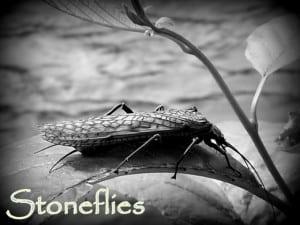 Stoneflies | www.johnkreft.com