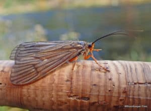 October Caddis and Their Imitations