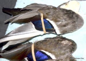 Preparing Mallard Wings for Soft Hackle Flies