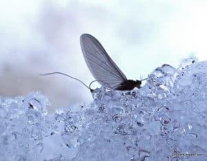 Die Hard Winter Fly Fisher