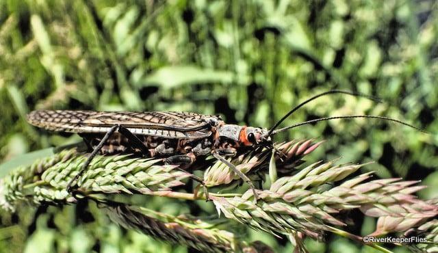 Salmonfly on Deschutes River   www.johnkreft.com