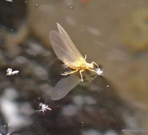 3 Basic Dry Fly Styles for Mayflies