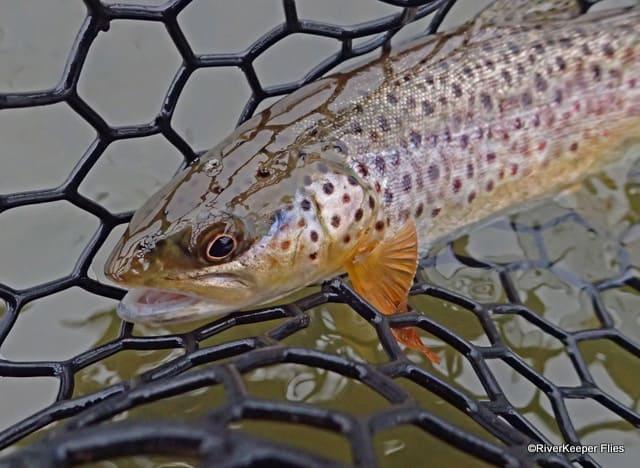 Middle Deschutes Brown Trout | www.johnkreft.com