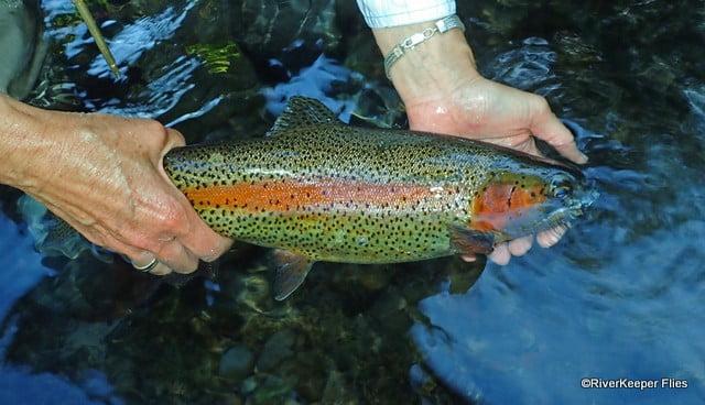 Rainbow Trout in Water   www.johnkreft.com