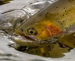 Fly Fishing the Kootenai, Bitterroot and Clark Fork Rivers