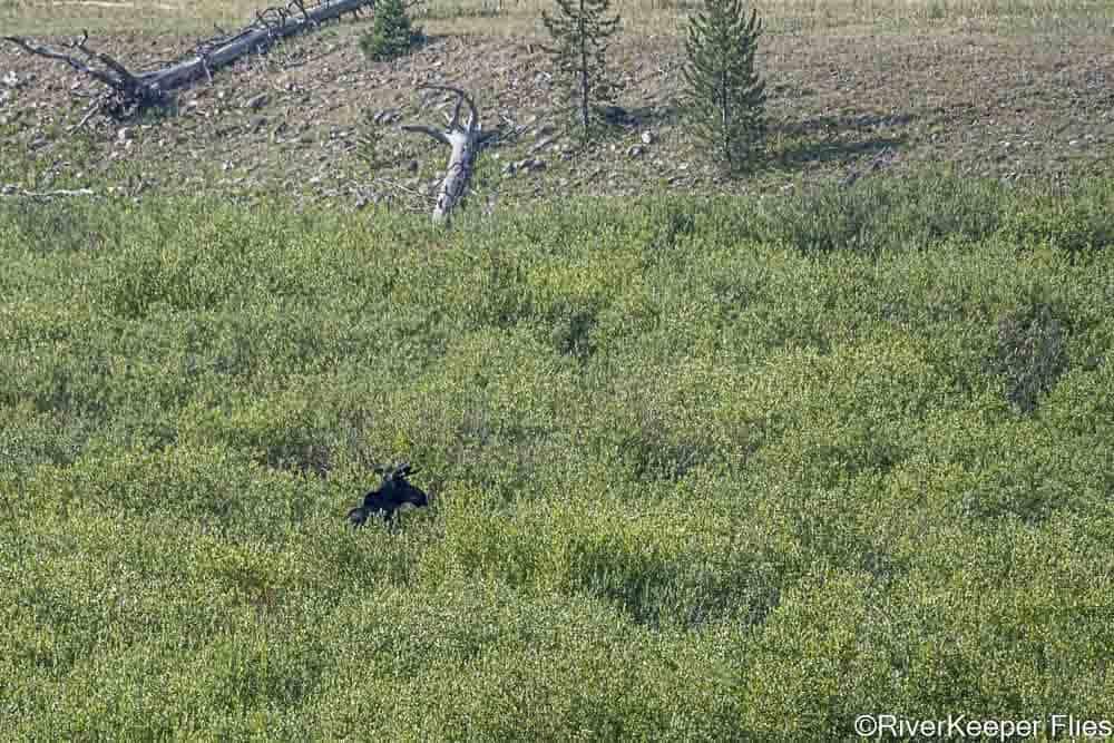 Bull Moose in Habitat on Grey's River   www.johnkreft.com