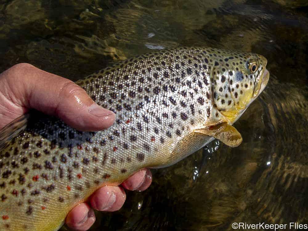 Green River Brown Trout   www.johnkreft.com