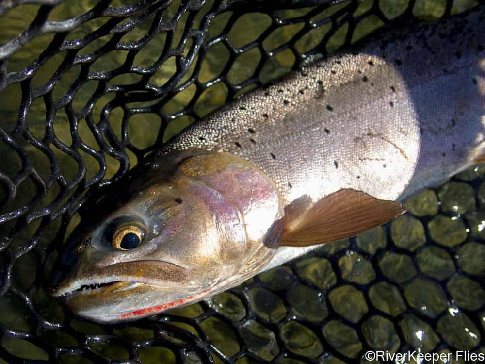 Green River Colorado Cutthroat   www.johnkreft.com
