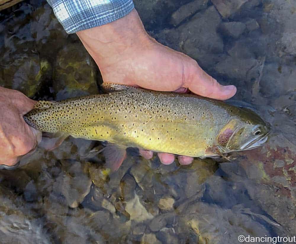 Grey's River Cutthroat Trout   www.johnkreft.com