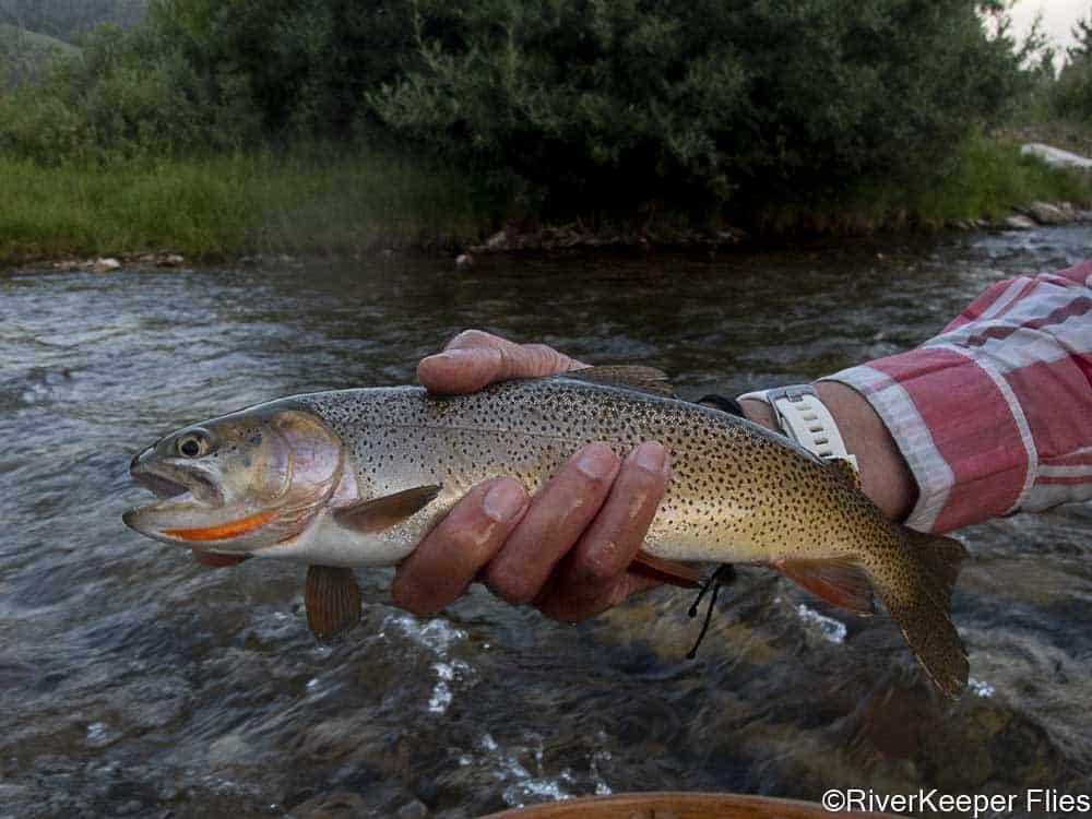 Grey's River Cutthroat   www.johnkreft.com