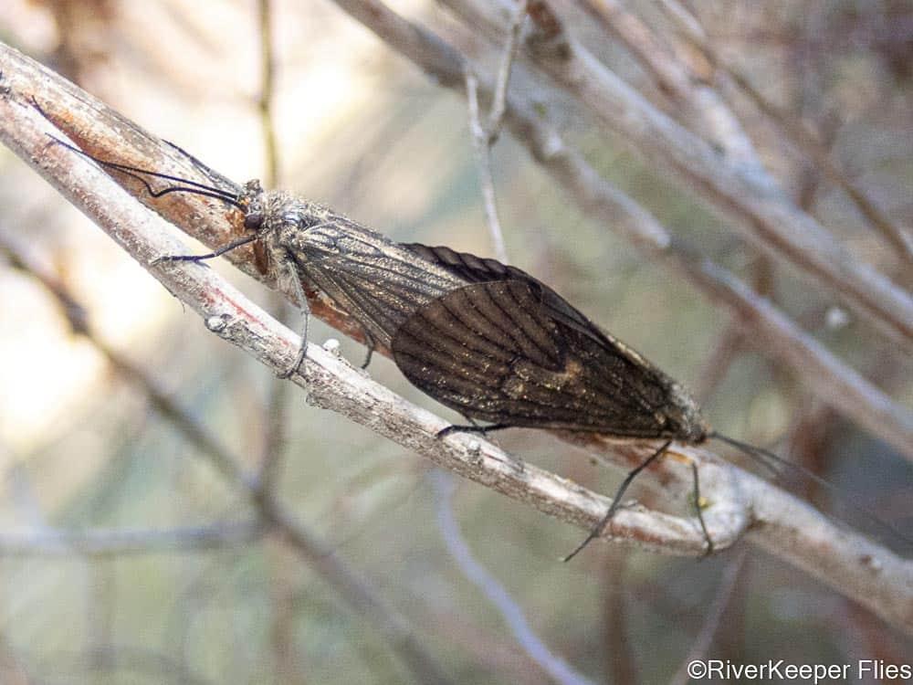 Mating October Caddis | www.johnkreft.com