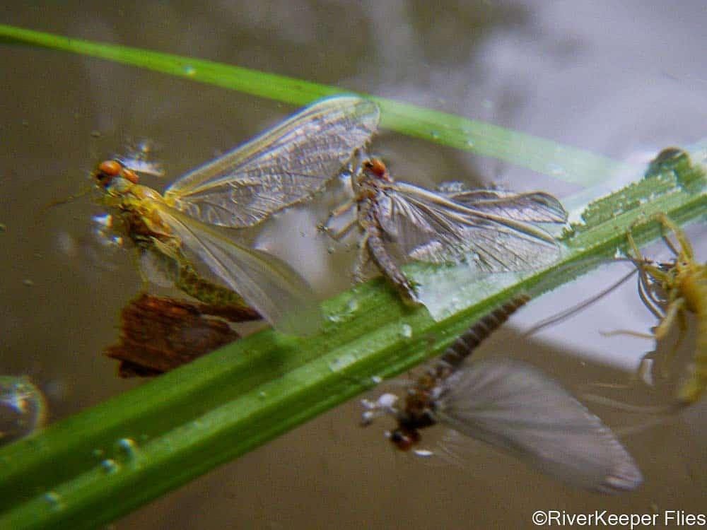 Mayflies in Film | www.johnkreft.com