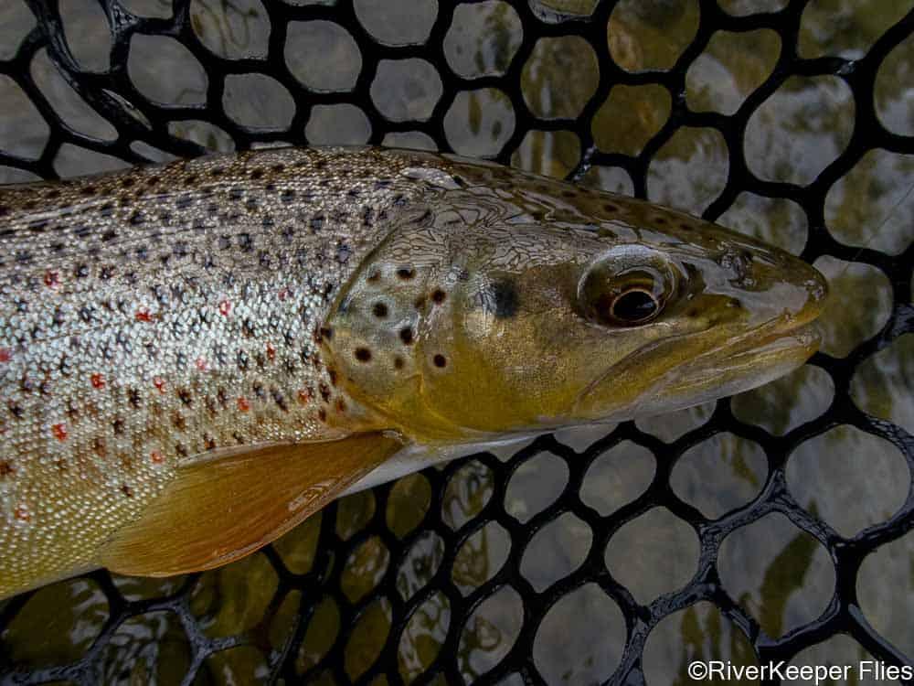 West Fork Bitterroot Brown Trout   www.johnkreft.com
